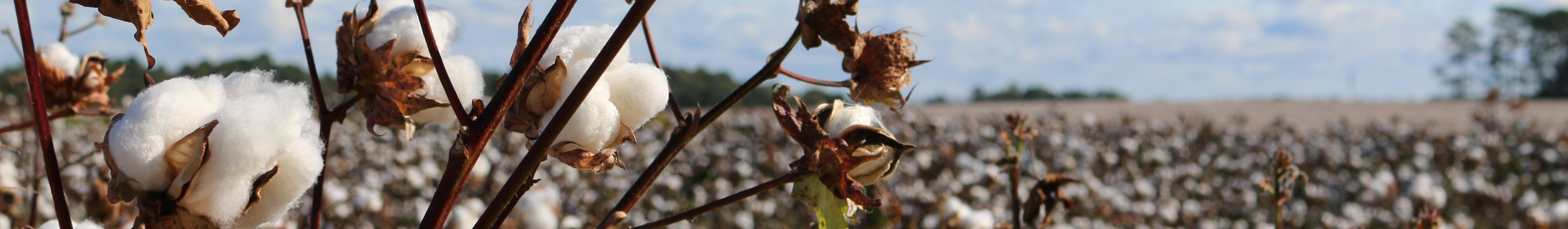 Organic Cotton Growing in the field for top Sustainable Living Tips