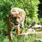 animal-sumatran-tiger-wild-cat from India Nurture Collective